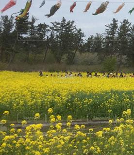花,春,かわいい,カラフル,電車,黄色,菜の花,景色,鯉のぼり,草木