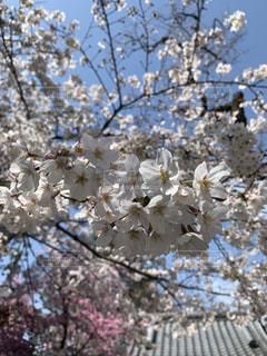 花,桜,サクラ,さくら