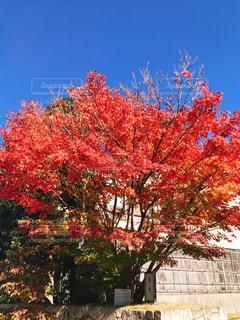 花,秋,紅葉,屋外,京都,もみじ,樹木,11月,カエデ