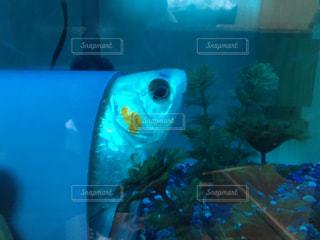 元気が出てきた金魚の写真・画像素材[1569694]