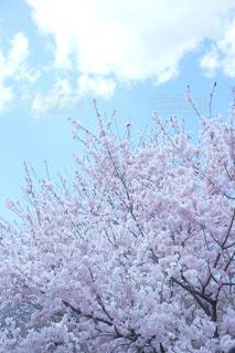 春,桜,京都,ピンク,お花見,植物園,枝垂れ桜,pink,桃源郷