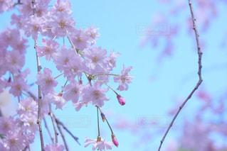 春,桜,京都,ピンク,お花見,枝垂れ桜,pink,桃源郷,原谷苑