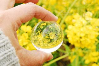 春,冬,屋外,フラワー,黄色,菜の花,反射,お花,女の子,水晶
