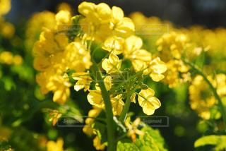 春,屋外,フラワー,黄色,菜の花,お花,鮮やか,日本,イエロー,野外