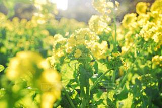 花,春,黄色,菜の花,景色,お花,鮮やか,イエロー,野外,黄,草木
