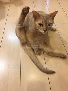 猫,屋内,床,アビシニアン,毛づくろい