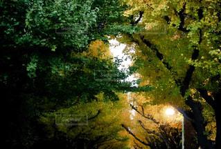 森林,屋外,観光地,樹木,東京都,青山,草木,黄金色,銀杏並木,外苑