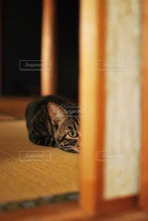 猫,動物,ペット,人物,和室,畳,キジトラ,ネコ,引き戸