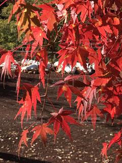 自然,紅葉,景色,樹木,山梨,複数,カエデ