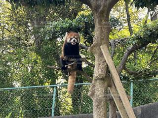 動物,かわいい,レッサーパンダ