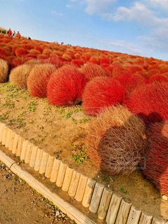 秋,紅葉,太陽,赤,影,オレンジ,夕陽,コキア,ひたちなか海浜公園,10月