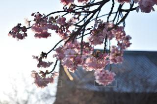 公園,花,春,ピンク,神社,花見,樹木,さくら