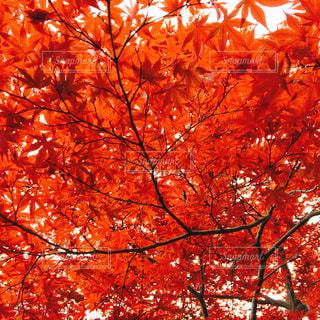 秋,紅葉,木,赤,もみじ,真っ赤