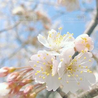 花,春,桜,木,花見,景色,お花見,イベント