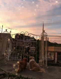 夕焼けを見る愛犬たちの写真・画像素材[3455722]