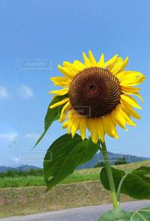 空,花,夏,庭,ひまわり,雲,黄色,向日葵,イエロー,きいろ,yellow,ヒマワリ