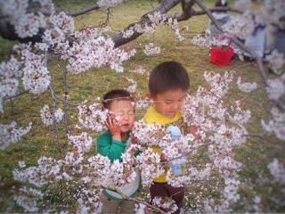 桜と兄弟の写真・画像素材[1832446]