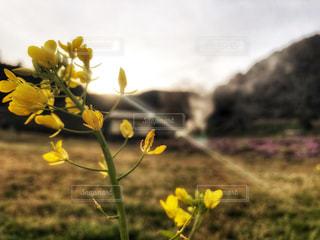 自然,公園,花,春,屋外,黄色,菜の花,夕方,山,小屋,外,煙,イエロー,山口県,yellow