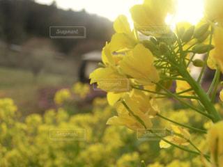 自然,風景,公園,花,春,黄色,菜の花,景色,お花,蕾,イエロー,菜の花畑,山口県,きいろ,yellow,幸せの色