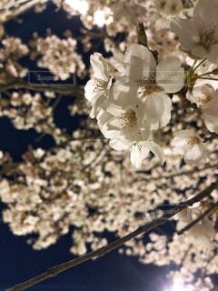 夜の桜の写真・画像素材[1953644]