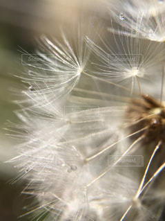 花,春,朝日,白,水,水滴,光,水玉,たんぽぽ,朝,綿毛,種,タンポポ,わた毛