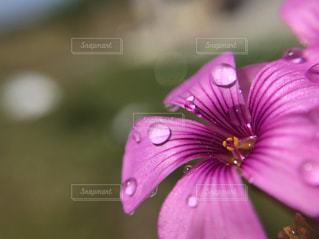 花,春,朝日,水,水滴,花びら,光,水玉,朝,玉ボケ,赤紫,花粉