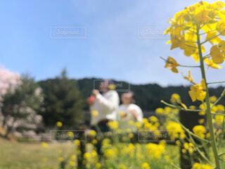 菜の花に囲まれての写真・画像素材[4300036]