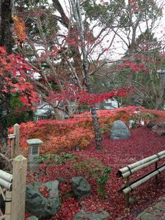 風景,紅葉,京都,神社,赤,景色,旅行,モミジ,インスタ映え,出雲大神宮