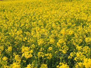 春,青空,黄色,菜の花,景色