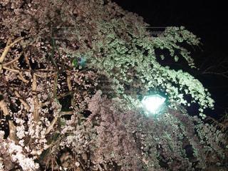 春,桜,赤,青空,花見,夜桜,山,景色,サクラ,樹木,草木,さくら