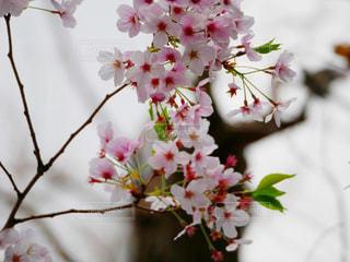 春,森林,赤,青空,花見,夜桜,サクラ,樹木,幸せ,さくら