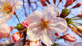 春,森林,青空,花見,夜桜,サクラ,樹木