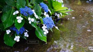 雨の日は元気なアジサイの写真・画像素材[4486916]