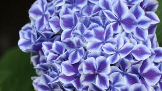 紫陽花の色彩の写真・画像素材[4558741]