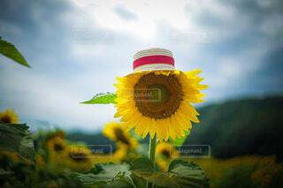 麦わら帽子をかぶるひまわり。の写真・画像素材[4801982]