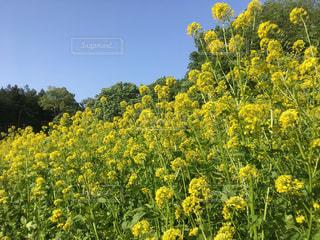 公園,花,春,屋外,青空,黄色,菜の花,きいろ,yellow