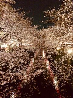 桜,ピンク,夜桜,お花見,目黒川,目黒区