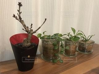 桜,室内,花見,鉢植え,蕾,一才桜