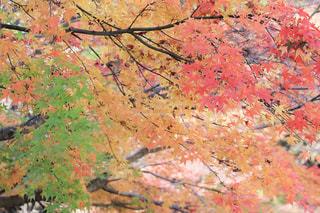 紅葉,カラフル,鮮やか,グラデーション,色づき始め,英彦山,三色紅葉,英彦山神宮周辺,色づき途中