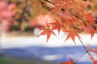 紅葉,鮮やか,グラデーション,色づき始め,英彦山神宮周辺