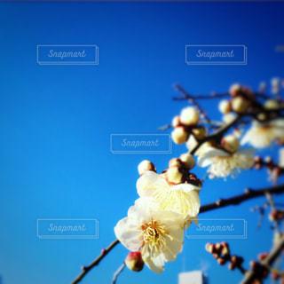 青空と梅の写真・画像素材[3016215]