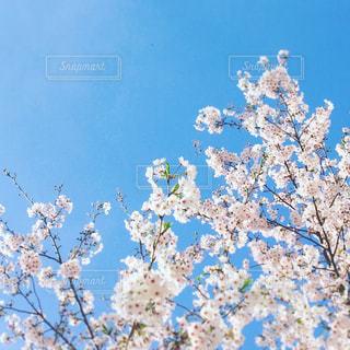 空,花,春,桜,屋外,晴れ,青い空,樹木,お花見,快晴,草木,桜の花,日中,さくら,ブロッサム