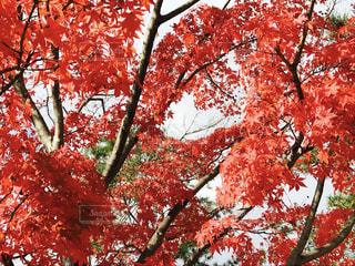 自然,秋,紅葉,屋外,京都,赤,景色,樹木,モミジ