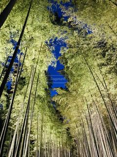 竹林ライトアップの写真・画像素材[1677221]