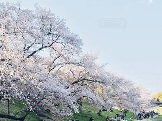 自然,春,桜,季節,お花見,さくら