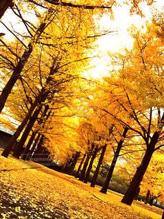秋のイエローカーペットの写真・画像素材[1611682]