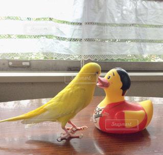 春,屋内,黄色,日差し,アヒル,幸せ,ダイニング,セキセイインコ,インコ,昼下がり,小鳥