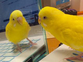 黄色,鏡,幸せ,セキセイインコ,インコ,イエロー,小鳥,yellow,ルチノー