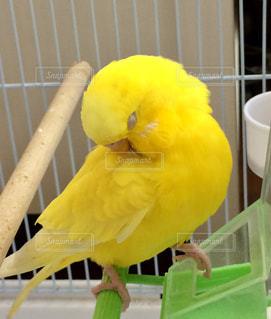 屋内,黄色,日差し,幸せ,セキセイインコ,インコ,昼下がり,イエロー,小鳥,yellow,ルチノー