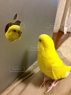 鳥,黄色,鏡,パソコン,幸せ,セキセイインコ,インコ,イエロー,yellow,ルチノー